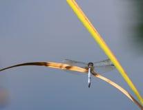 Libellen-Stillstehen Stockbilder