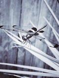 Libellen-Stillstehen Stockbild