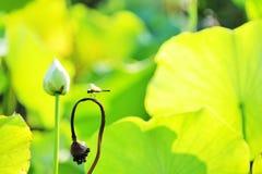 Libellen- und Lotosblatt Stockbilder