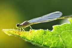 Libellen- und Lotosblatt Stockfoto