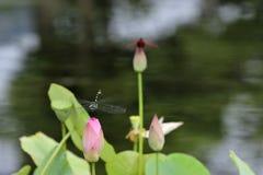 Libellen- und Lotosblatt Stockfotos