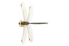 Libellenahaufnahme lizenzfreies stockfoto