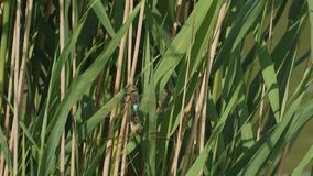 Libellenflitterwochen im Frühjahr stock video footage