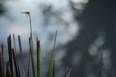 Libelleninsekt in der Natur Naturinsektenlibelle auf Rosmarinanlage Libelle in der Natur Libelle nave Grüne Farbe stockfotos