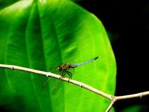 Libellennahaufnahme in einem grünen Hintergrund Stockfotografie