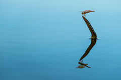 Libellenreflexion Lizenzfreies Stockbild