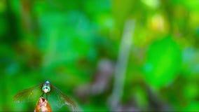 Libellenverlassen und -rückkehr zu einer Ingwerblume stock video