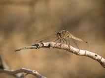 Libellestillstehen Stockbilder