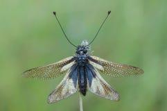 Libelloides coccajus Stock Image