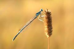 libellula Immagini Stock Libere da Diritti