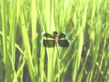 Libellula Fotografie Stock