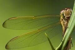 libellula Fotografia Stock Libera da Diritti