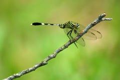 libellula Fotografie Stock Libere da Diritti