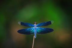 Libellula all'aperto, bella libellula Fotografie Stock