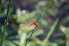 Libellula arancione Fotografia Stock Libera da Diritti
