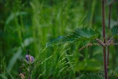 Libellula Azure Bridesmaid fotografia stock libera da diritti