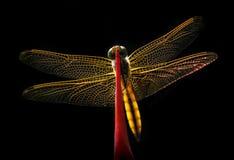 Libellula Backlit Fotografie Stock