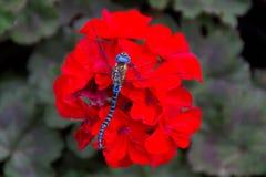 Libellula, bei colori Fotografia Stock Libera da Diritti