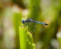 Libellula blu fotografie stock libere da diritti