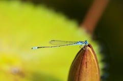 Libellula blu Immagine Stock Libera da Diritti