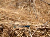Libellula blu fotografie stock