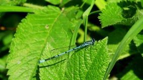 Libellula blu Fotografia Stock