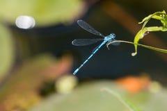 Libellula blu che si siede sopra lo stagno fotografia stock