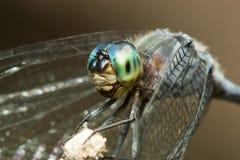 Libellula blu con il macro ritratto degli occhi verdi su un bastone Immagini Stock Libere da Diritti