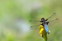 Libellula blu, depressa di Libellula, sedentesi su un fiore giallo fotografia stock