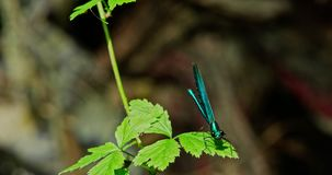 Libellula blu - mosca su una foglia archivi video