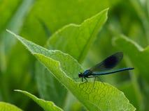 Libellula blu scuro Fotografie Stock
