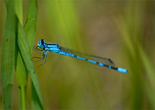 Libellula blu su erba Fotografie Stock