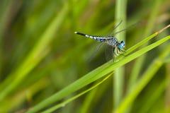 Libellula blu su erba verde fotografia stock