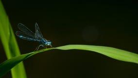 Libellula blu su una foglia Fotografia Stock Libera da Diritti