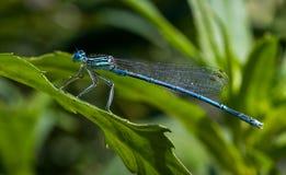 Libellula blu sul foglio verde fotografia stock libera da diritti
