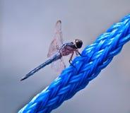 Libellula blu sulla corda blu Fotografia Stock Libera da Diritti