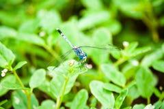 Libellula blu sulla pianta Fotografia Stock Libera da Diritti