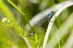 Libellula blu sullo stagno Fotografia Stock