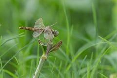 Libellula (chalybea di Brachydiplax) 2 Fotografie Stock Libere da Diritti