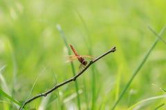 Libellula (chalybea di Brachydiplax) 4 Immagini Stock Libere da Diritti