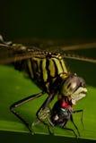 Libellula che mangia mosca su priorità bassa scura Immagini Stock