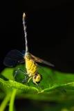 Libellula che mangia mosca sulla foglia verde Fotografie Stock Libere da Diritti