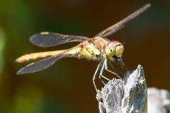 Libellula che mangia una mosca Fotografia Stock