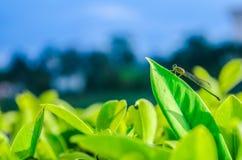 Libellula che prende una foglia verde immagine stock libera da diritti