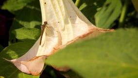 Libellula che riposa su un grande fiore bianco nel giardino archivi video