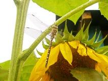 Libellula che si siede su una pianta Fotografie Stock