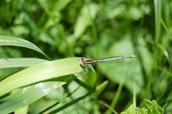 libellula che si siede sul colpo di macro dell'erba verde fotografie stock libere da diritti