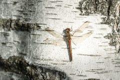 libellula che si siede sul primo piano del tronco della betulla Fotografie Stock