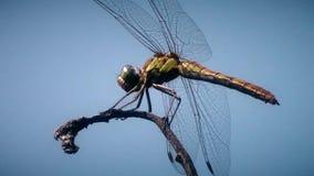 Libellula che si siede sul ramo sulla fine del fondo del cielo blu sulla videoripresa unica dell'animale della natura di nuova qu archivi video