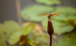 Libellula che si siede sull'acqua lilly Fotografie Stock